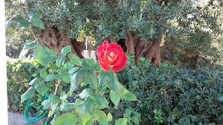 Pablo Neruda adore parler des fleurs et des rose en général dans ses poèmes