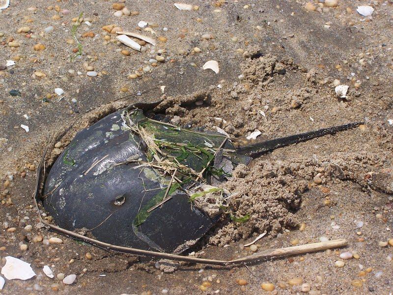 Horseshoe Crab Hatching a Single Female Horseshoe Crab