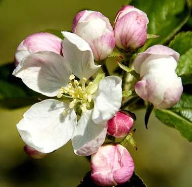 http://www.statesymbolsusa.org/Arkansas/flower_appleblossom.html