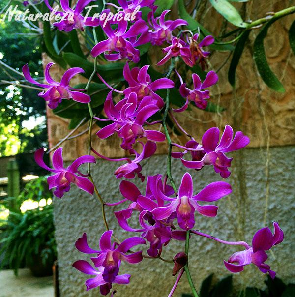 Lluvia de orquídeas con Dendrobium superbiens