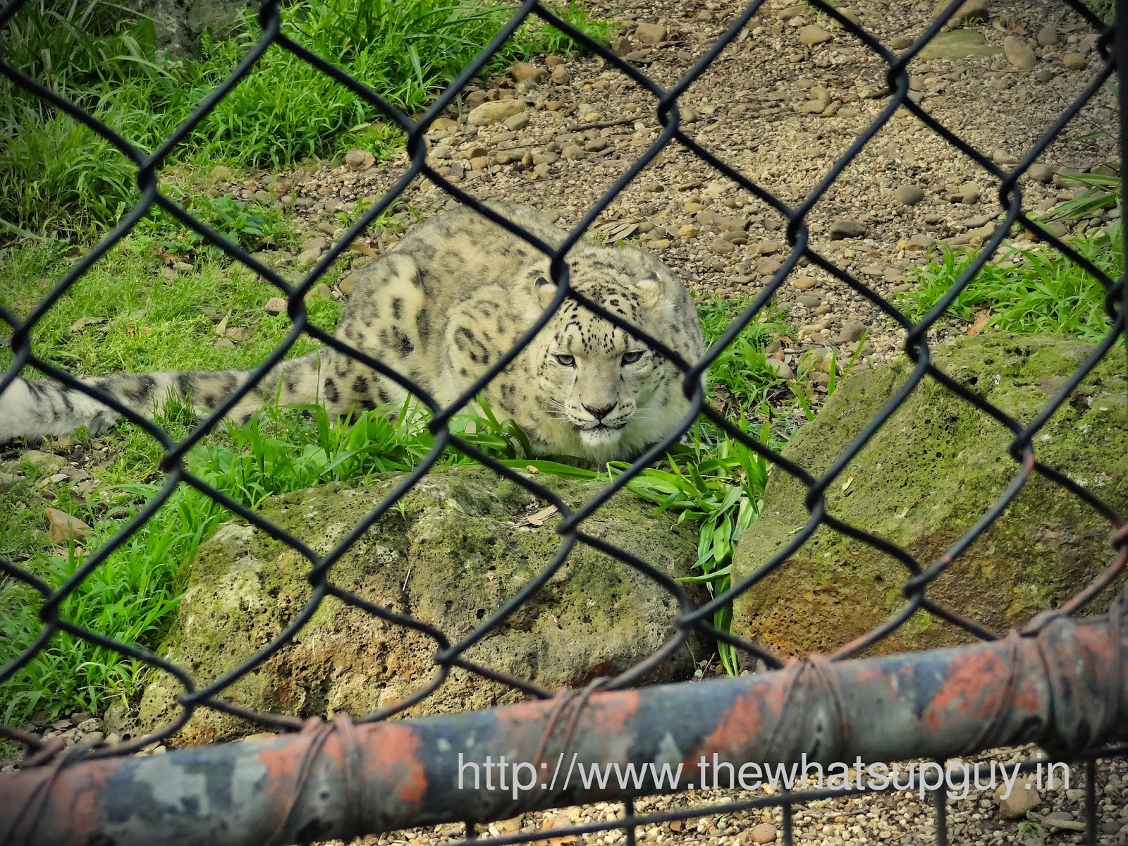 Snow Leopard In Melbourne Zoo