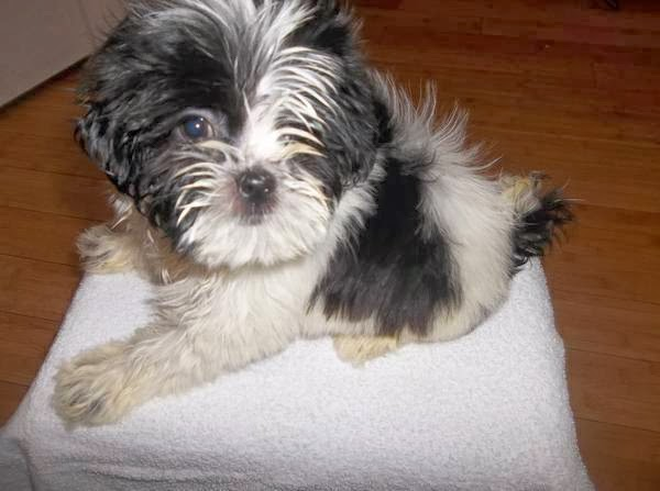 Shih tzu puppies for sale nyc