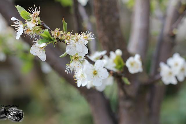 O rebentar das flor da macieira em plena primavera, apresentação de varias fotografias.