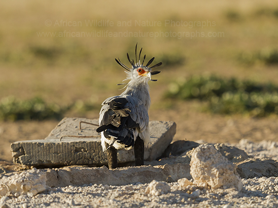 Secretary-bird (Sagittarius serpentarius)