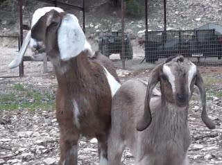 Nubian dairy goat kids