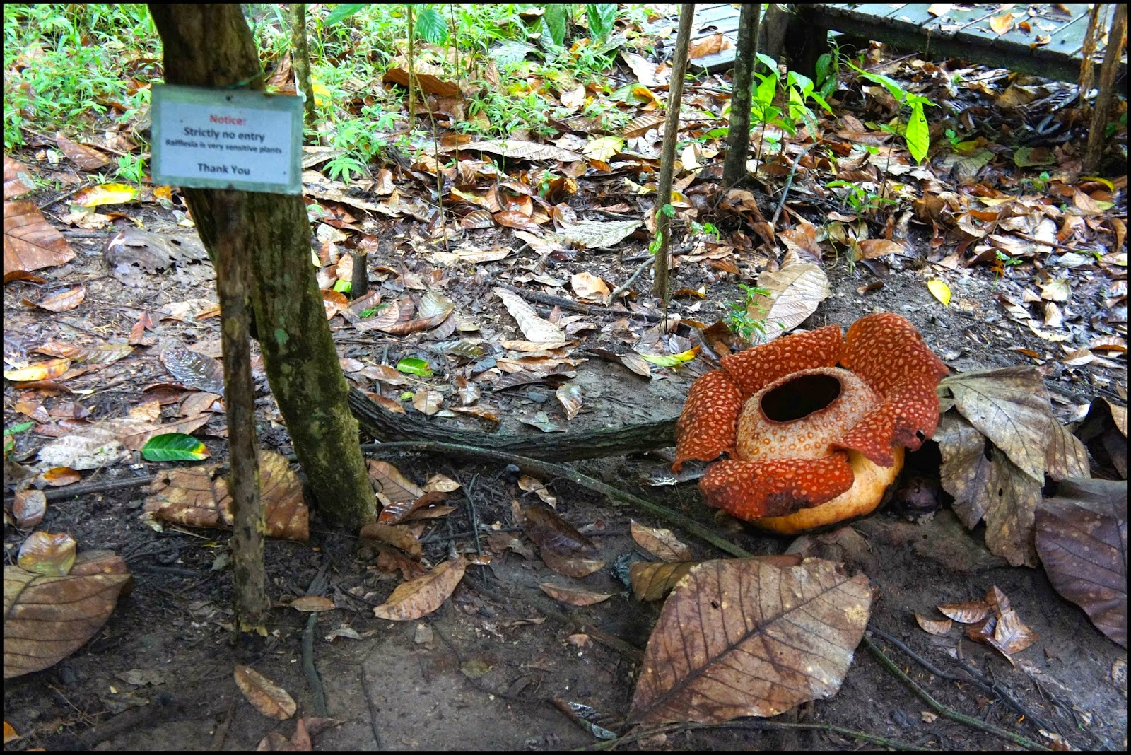 Rafflesia Kota Kinabalu Malasia Malaysia