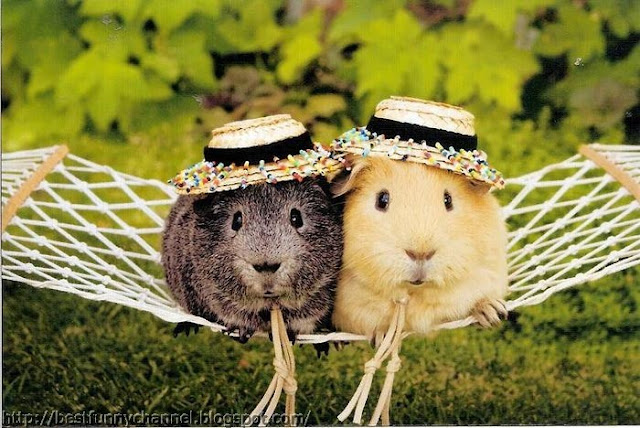 Two funny  Guinea pigs in a caps.