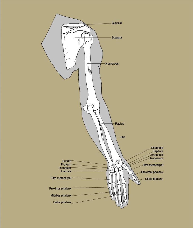Human Arm... Human Arms