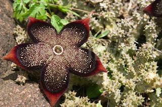 Socotra Flower