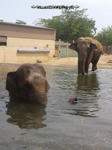 Eléphants dans l'eau à Touroparc