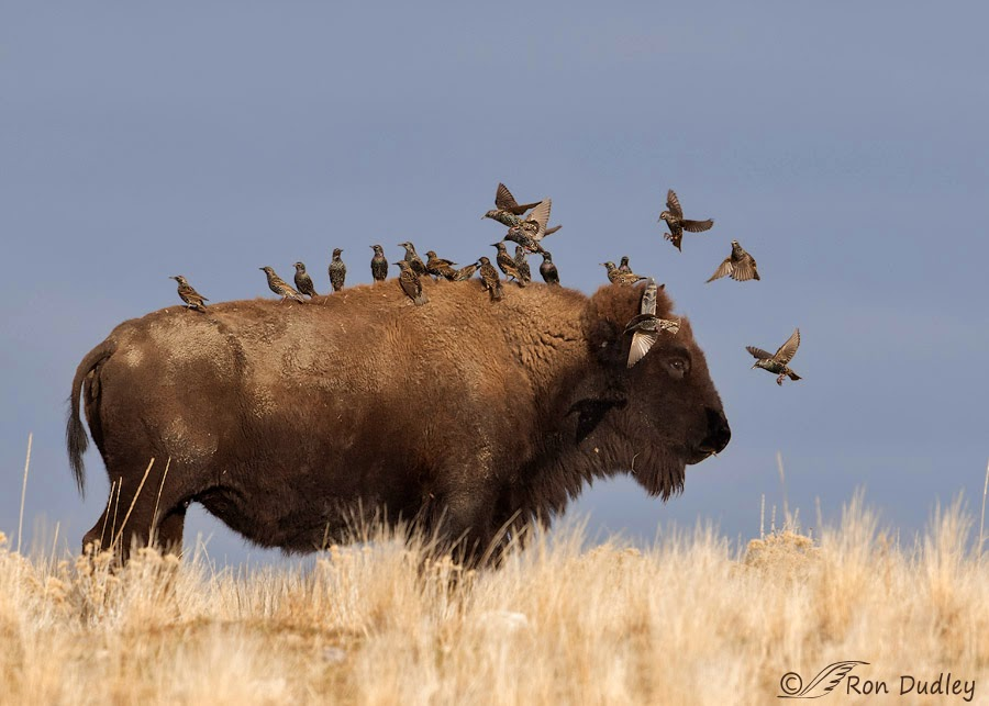 relationship of cowbird and bison