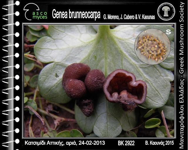 Genea brunneocarpa G. Moreno, J. Cabero & V. Kaounas
