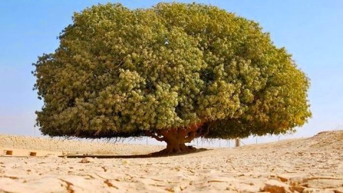 Ini Pohon Sahabi tempat Nabi Muhammad Kecil Diramal Biarawan Kristen
