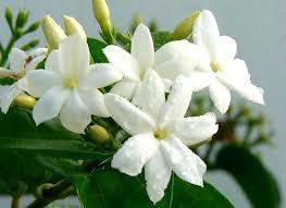 Jenis Tanaman Bunga Melati