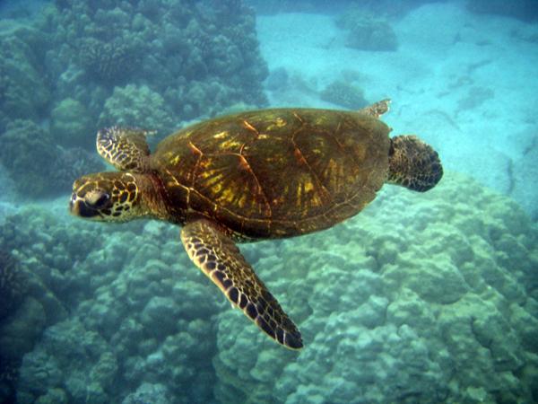 Sea Turtles Swimming Green sea turtles swimming