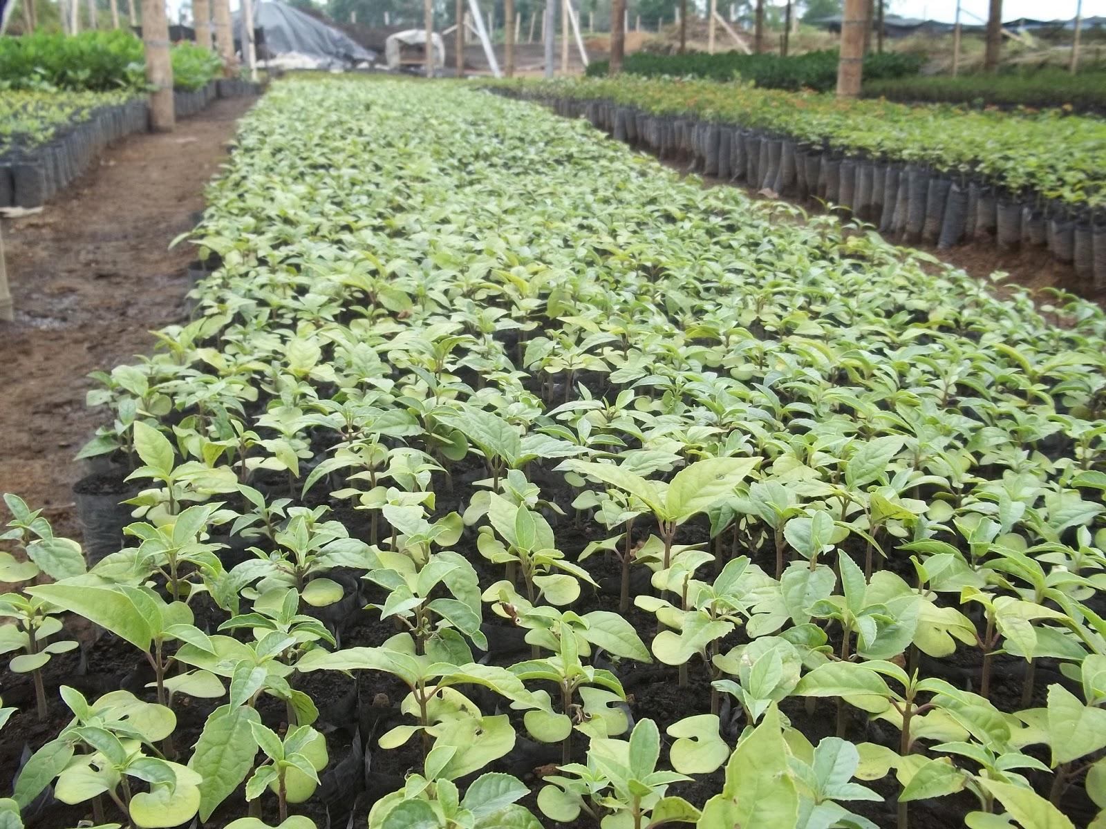 Ingeniero agroforestal for Viveros frutales bogota