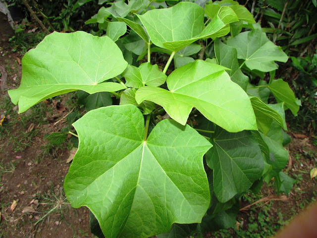 FOTO Daun Tanaman Jarak (Ricinus communis)