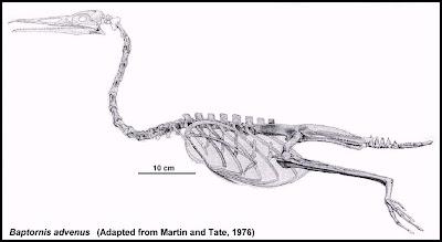 aves acuaticas y prehistoricas Baptornis