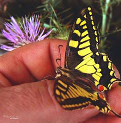 Mariposa Papilion