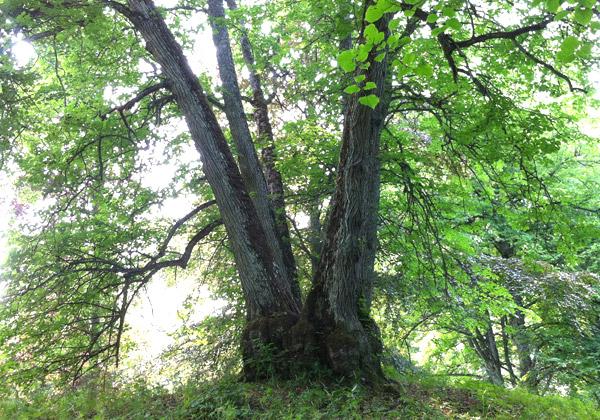 Stort träd med solljus som strilar genom grenarna.