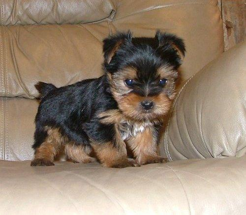 Toy Size Dogs : Cute puppy dogs teacup yorkshire terrier puppies