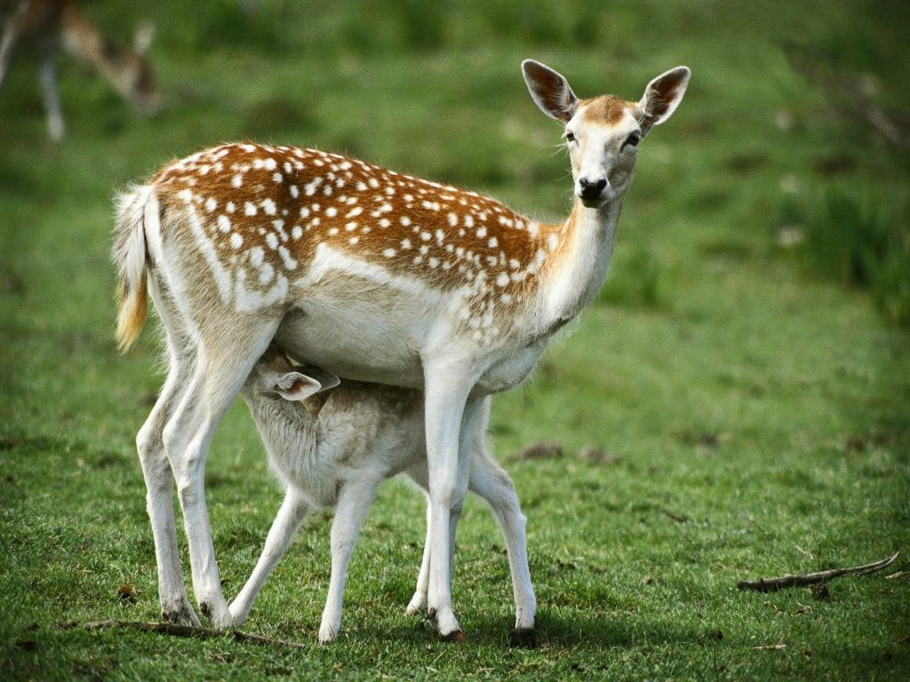 Deer pictures wildlife animals