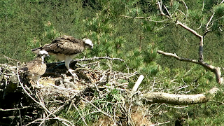 Osprey parents with chicks