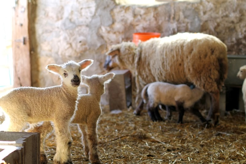 Lambs in the barn at Nordic Hills