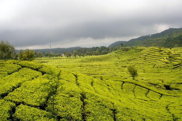 Hamparan permadani hijau di Perkebunan Teh Rancabali Bandung