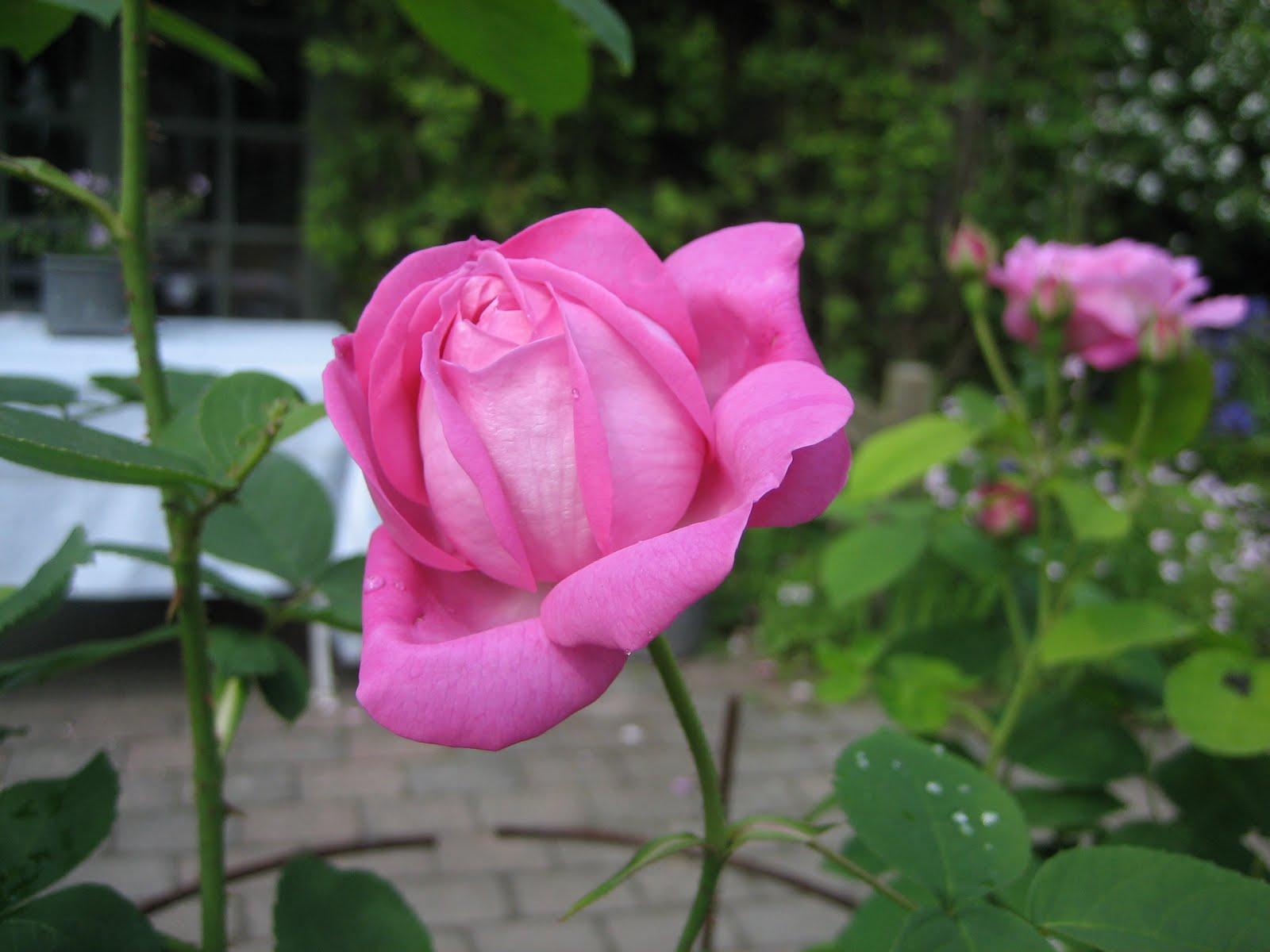 Gros Rosenhave: Historiske Roser :-D