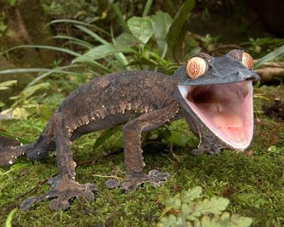 [Image: Giant%2Bleaf-tailed%2BGecko.jpg]