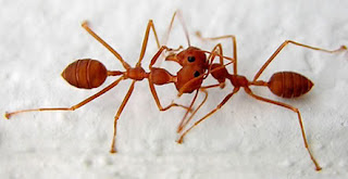 Alasan Semut Berhenti Jika Bertemu Semut Lainnya