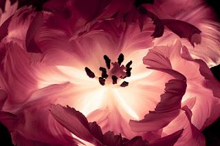 flor preciosa rosa