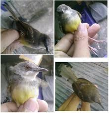 Cara pelihara burung kicauan