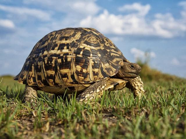 черепаха в траве