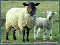gambar domba