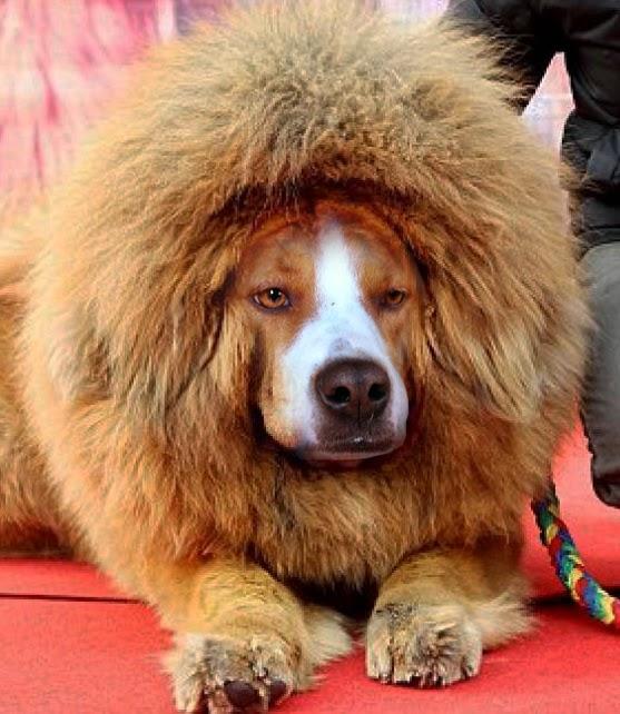 Little brown blog tibetan mastiff tidbits