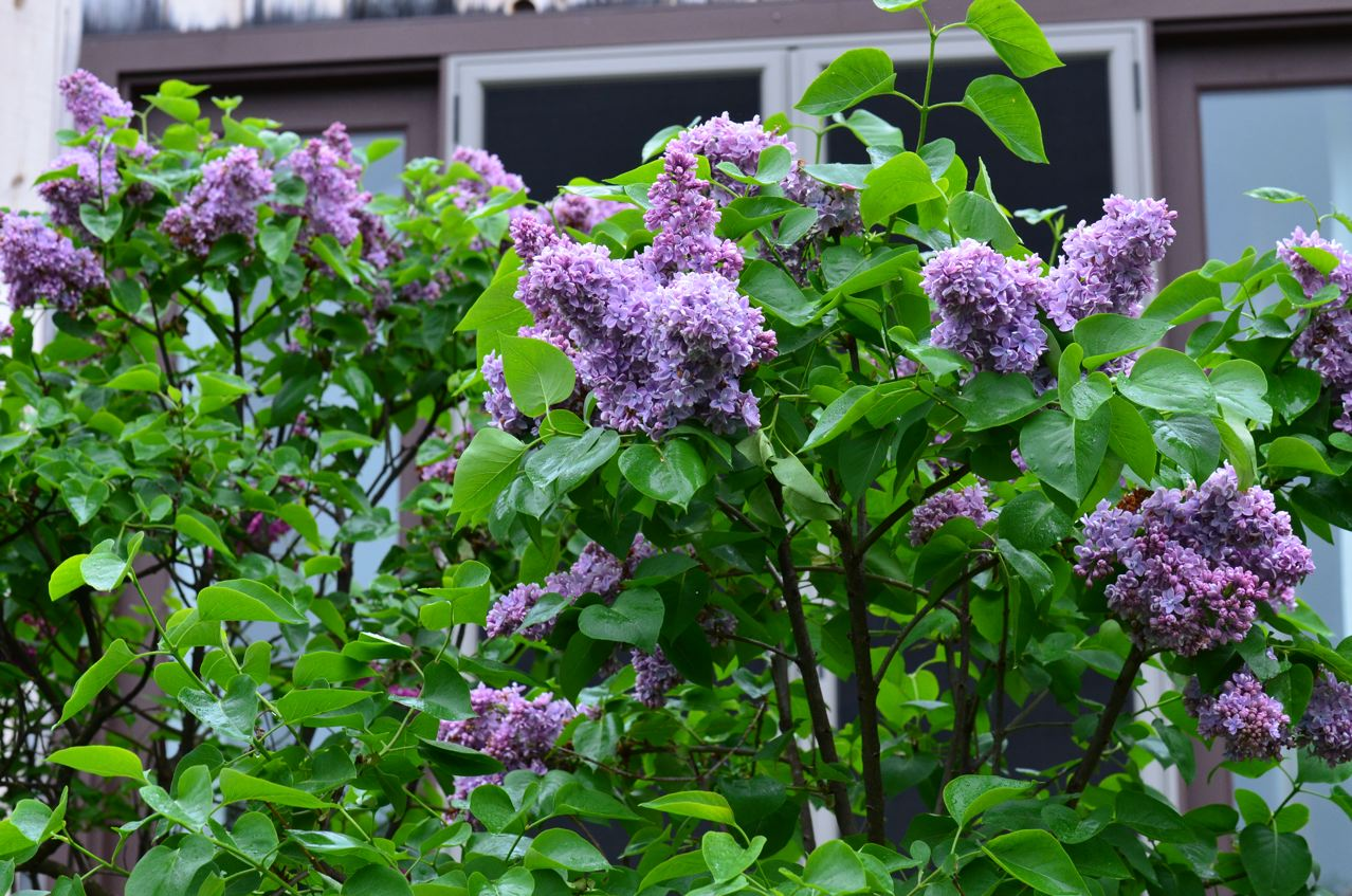 Flower Hill Farm Lilac Time