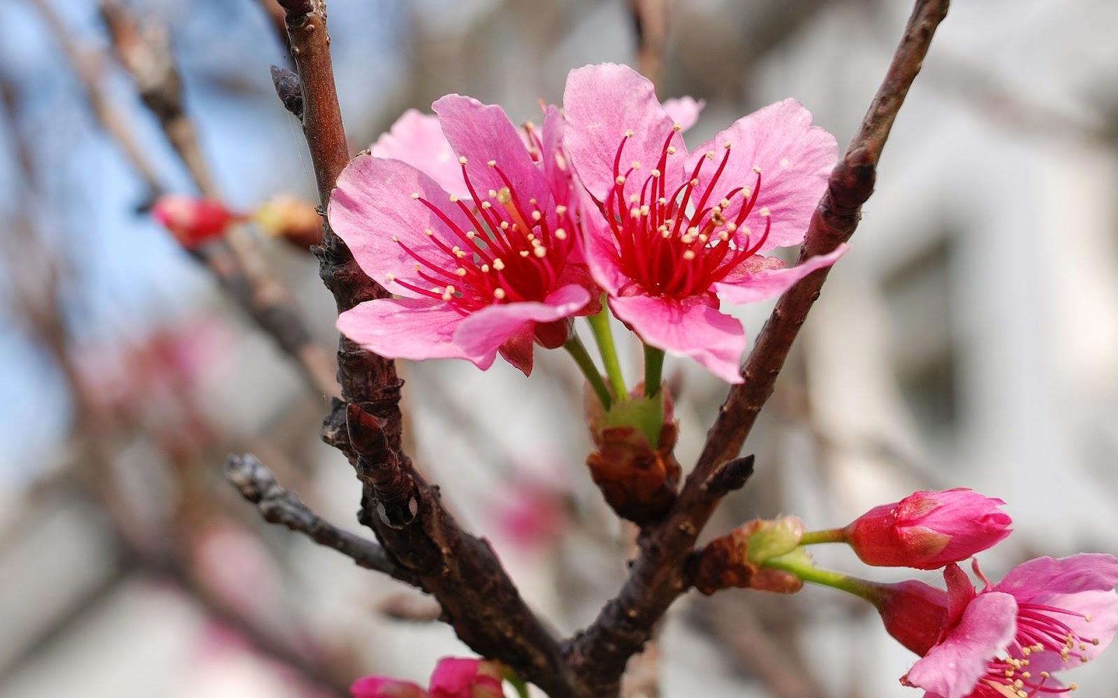 Foto van roze bloeiende bloesem aan een tak