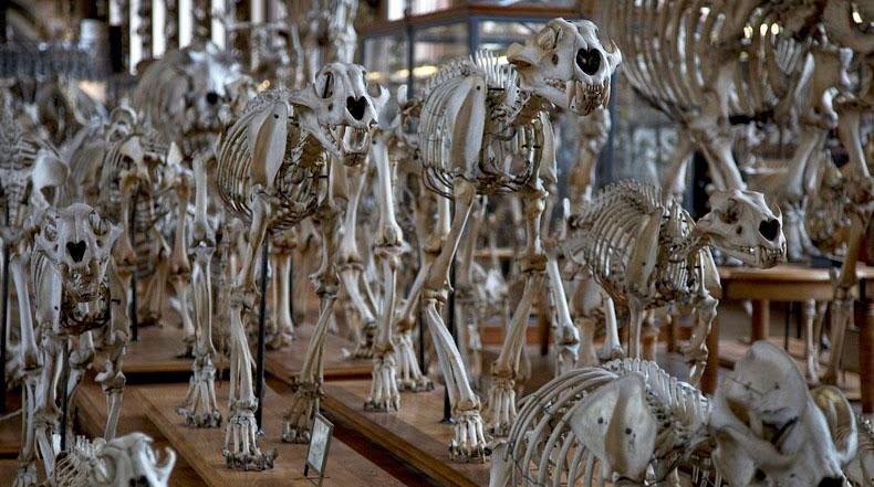 Desfile de esqueletos en la Galería de Paleontología y Anatomía Comparada