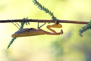 Para ampliar Mantis religiosa (Linnaeus, 1758)  hacer clic