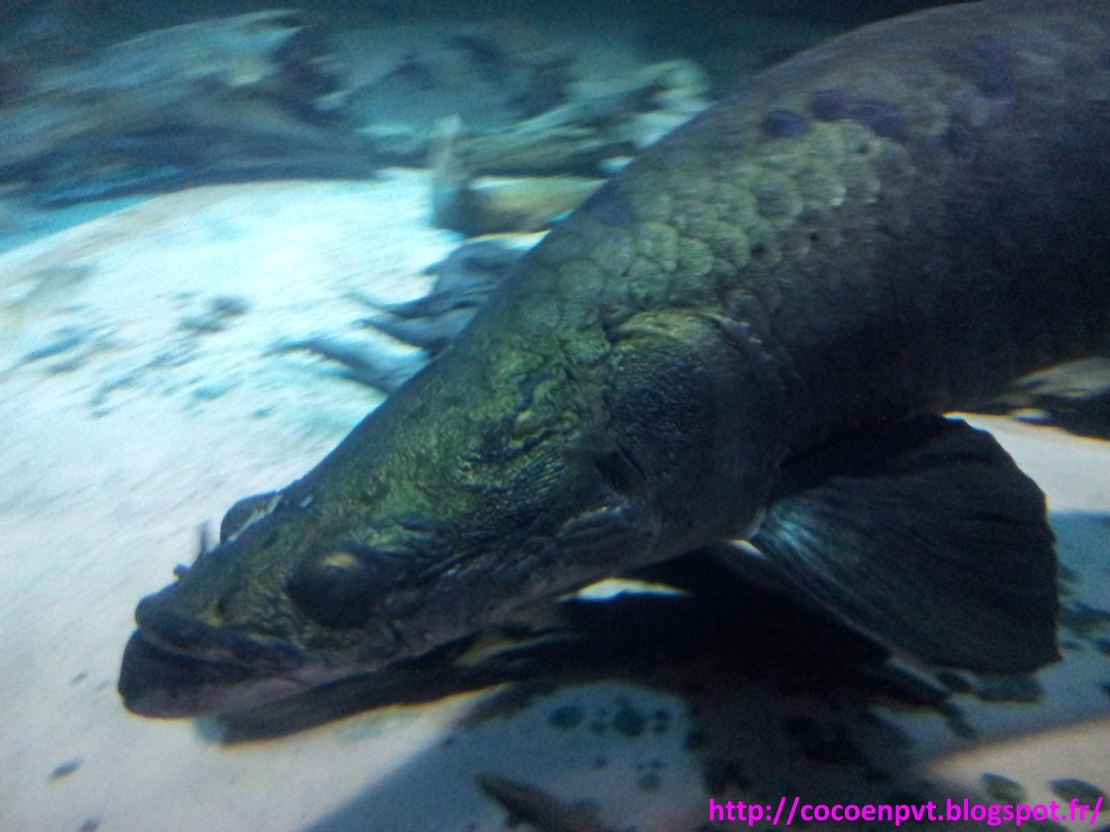 Coco en pvt aquarium de vancouver for Gros poisson aquarium