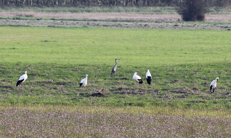 A group of White Storks and a Grey Heron