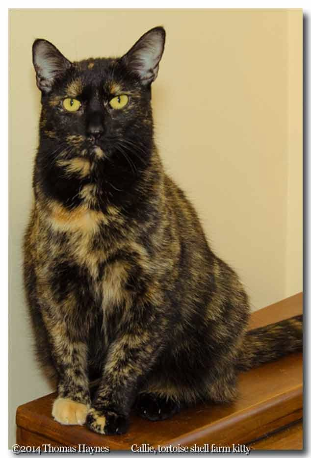 Callie, a tortiseshell kitty moved from wild farm life to a home.