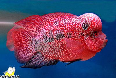 Flowerhorn Fish Resource Center  Somethingsphishy