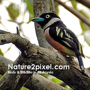 Birds & Wildlife in Malaysia