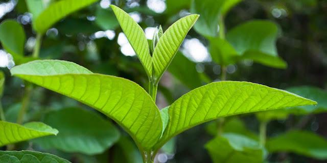Khasiat dan manfaat daun bji