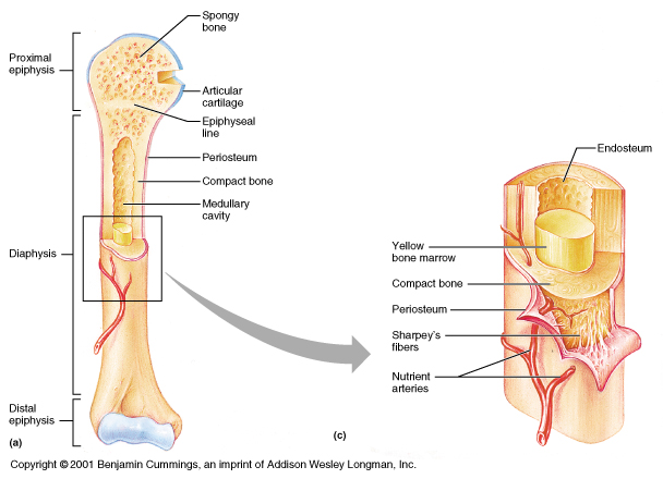 Anatomy of long bones