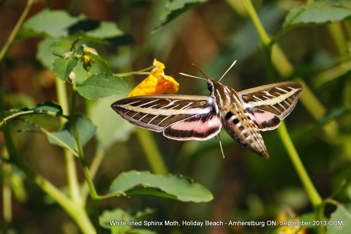 White lined sphinx moth - photo#26