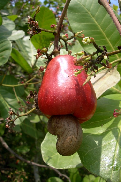 cashew fruit fruit from the poisonous tree